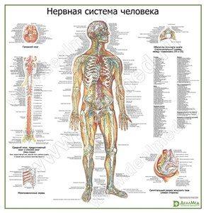 """Медицинский плакат """"Нервная система человека"""""""